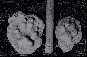 http://www.mysteriousaustralia.com/images/thylacine/thylacinecasts.jpg